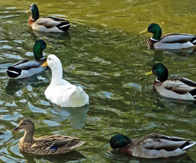 Odd duck by Don Graham