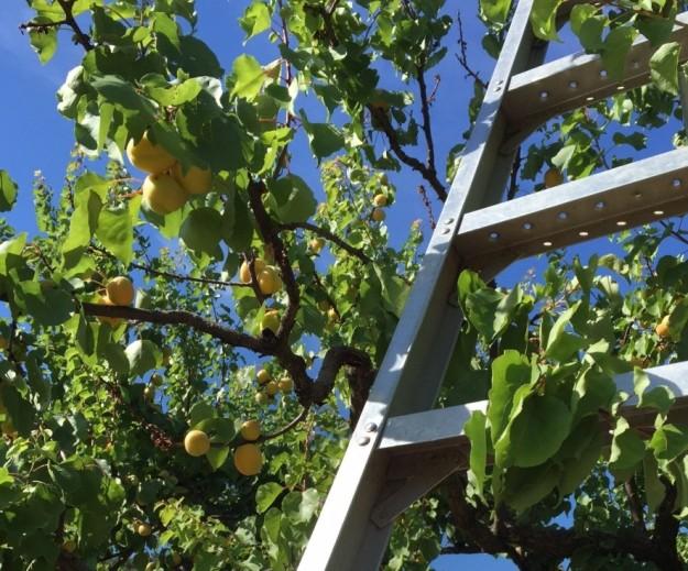 apricot ladder